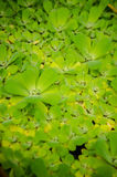 Pistia stratiotes � Water Lettuce Stock Photography