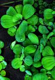 Pistia Stratiotes is een waterplant stock foto