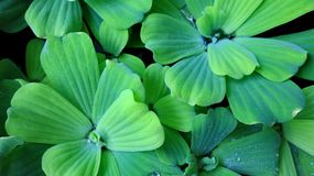 Pistia stratiotes, is often called water cabbage, water lettuce royalty free stock photos