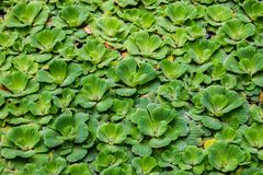 Pistia stratiotes Water lettuce royalty free stock photography