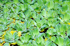 Pistia  (Water cabbage) -  detail Stock Photos