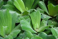Pistia - water lettuce (water cabbage - Nile cabbage - shellflower). Raindrop can be seen on water lettuce leaves after a heavy rainfall Royalty Free Stock Photos