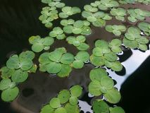 Pistia the water lettuce. Water lettuce is known as a floating variety of aquatic plant stock photos