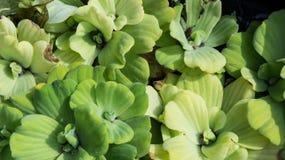 Pistia or Water lettuec. Pistia or Water lettuec on water Stock Photos