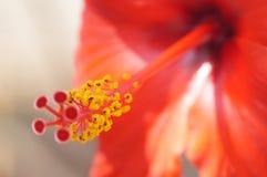 Pistil красного гибискуса Стоковые Изображения RF