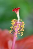 pistil цветка тропический Стоковое Изображение RF