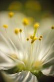 Pistil цветка. Стоковое Изображение