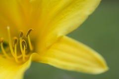 Pistil amarillo del lirio Imagen de archivo