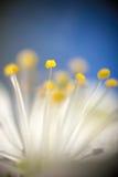 Pistil de fleur. Photos stock