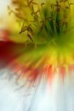 Pistil de la amapola Imagenes de archivo