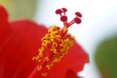 The pistil hibiscus. The macro of pistil of red hibiscus royalty free stock photo