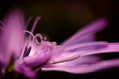 Pistil and petals. Violet pistil and petals on black background royalty free stock photo