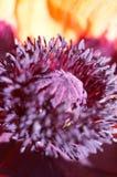 Pistil pourpré de pavot   Photos stock