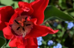 Pistil of a red tulip. Shot from above in closeup royalty free stock photo