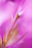 Pistil of a Rhododendron Stock Image