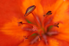 Pistil and stamens of a lily Stock Photos