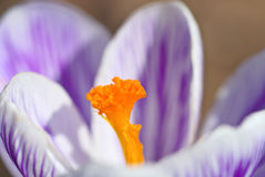 Pistil yellow crocus Royalty Free Stock Photos
