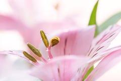 Pistillar och stamens med droppar på en rosa blomma En försiktig makro, romantisk bild arkivfoto
