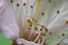 Pistilli bianchi del fiore del ciliegio della bella macro molla come fondo astratto Fotografie Stock Libere da Diritti