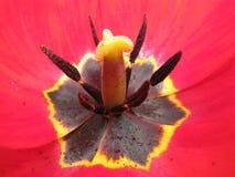 Pistilo e estame de uma tulipa Foto de Stock Royalty Free
