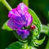 Pistilo e estames de uma flor roxa Imagem de Stock