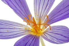 Pistilo e estames do macro do Colchicum da flor, isolados no fundo branco Foto de Stock Royalty Free