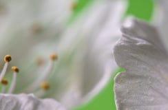 Pistilos blancos de la flor del cerezo de la primavera macra hermosa como fondo abstracto Imágenes de archivo libres de regalías