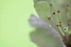 Pistilos blancos de la flor del cerezo de la primavera macra hermosa como fondo abstracto Fotos de archivo libres de regalías