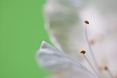 Pistilos blancos de la flor del cerezo de la primavera macra hermosa como fondo abstracto con el espacio de la copia Imagen de archivo libre de regalías