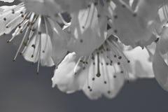 Pistilos de los pétalos del cerezo de la primavera con las flores florecientes del blanco en adorno blanco y negro Fotos de archivo libres de regalías