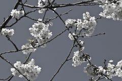 Pistilos de los pétalos del cerezo de la primavera con las flores florecientes del blanco en adorno blanco y negro Fotografía de archivo libre de regalías