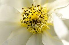 Pistilos y estambre de la flor Fotografía de archivo