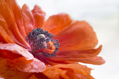 Pistils inside poppy's blossom Royalty Free Stock Photo