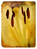Pistils and stamens of a lily. Old postcard. Stock Photography