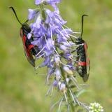 Pistryanka seis-manchou nas flores do Veronica Fotografia de Stock Royalty Free