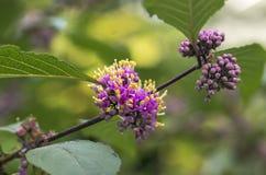 Pistyl цветка макроса Стоковое Изображение