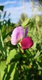 Pisum sativum Stockfotos