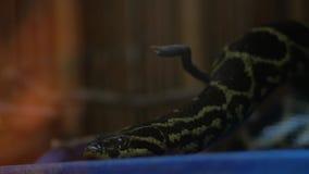 Pitão atado preto no molurus do pitão do terrarium video estoque