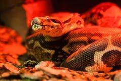 Pitão da serpente sob a luz vermelha foto de stock royalty free