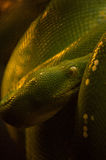 Pitão verde da árvore Foto de Stock Royalty Free
