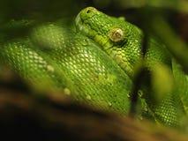 Pitão verde da árvore (Morelia Viridis) Imagem de Stock Royalty Free