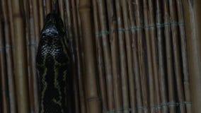 Pitón atado negro en el molurus de Python del terrario