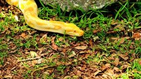 Pitón birmano amarillo (bivittatus de Python) Imagen de archivo libre de regalías