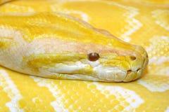 Pitón Burmese (bivittatus del molorus del pitón) imagen de archivo libre de regalías