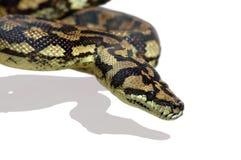 Pitón de la serpiente Imagen de archivo libre de regalías