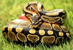 Pitón de la serpiente Fotografía de archivo