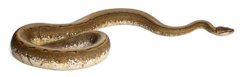 Pitón del hilandero, pitón real, pitón de la bola Imagen de archivo libre de regalías