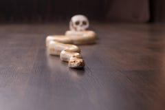 Pitón del oro con el cráneo humano Fotografía de archivo