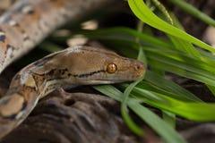 Pitón reticulado, serpiente del constrictor de boa en rama de árbol imagen de archivo libre de regalías