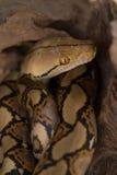 Pitón reticulado, serpiente del constrictor de boa en rama de árbol imagenes de archivo